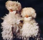 Ornamental chickens