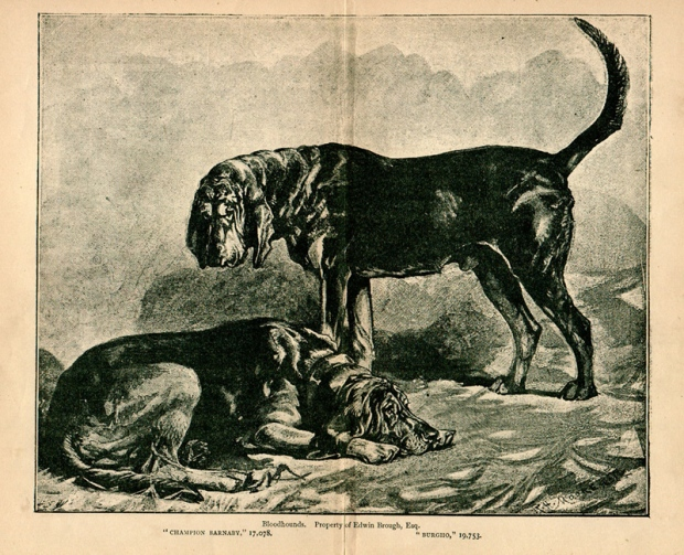 bloodhounds_burgho_and_barnaby
