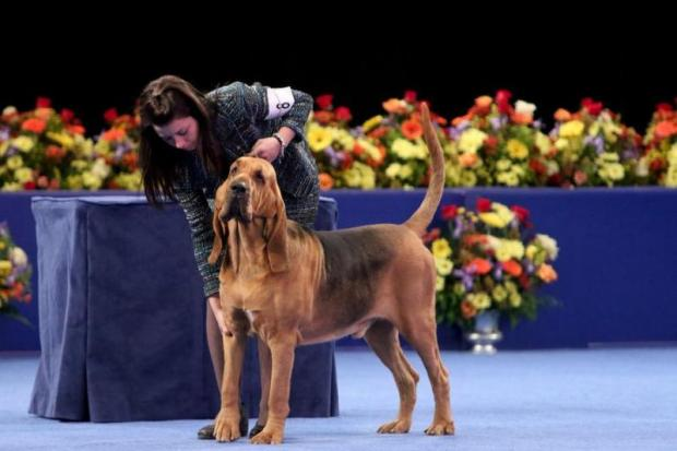 Nathan-the-Bloodhound-wins-the-National-Dog-Show-in-Philly